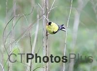 American Goldfinch IMG 2971