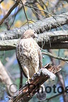Female Redtail hawk 094