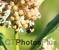 Bee on Milkweed IMG 9999 91c