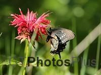 Spicebush Swallowtail Butterfly on Bee balm IMG 9999 204c