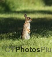 Bunny searching the field IMG 9999 141c