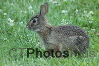Cottontail Rabbit IMG 4957