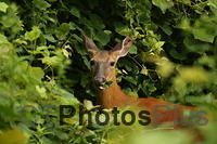 Whitetailed deer U82A2909